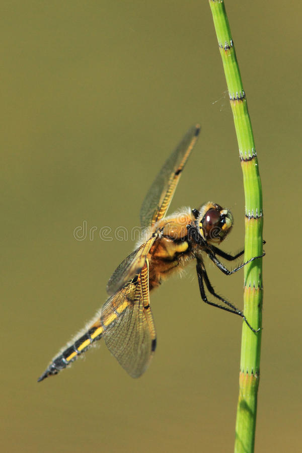 Download Drying The Wings Royalty Free Stock Photos - Image: 25189508