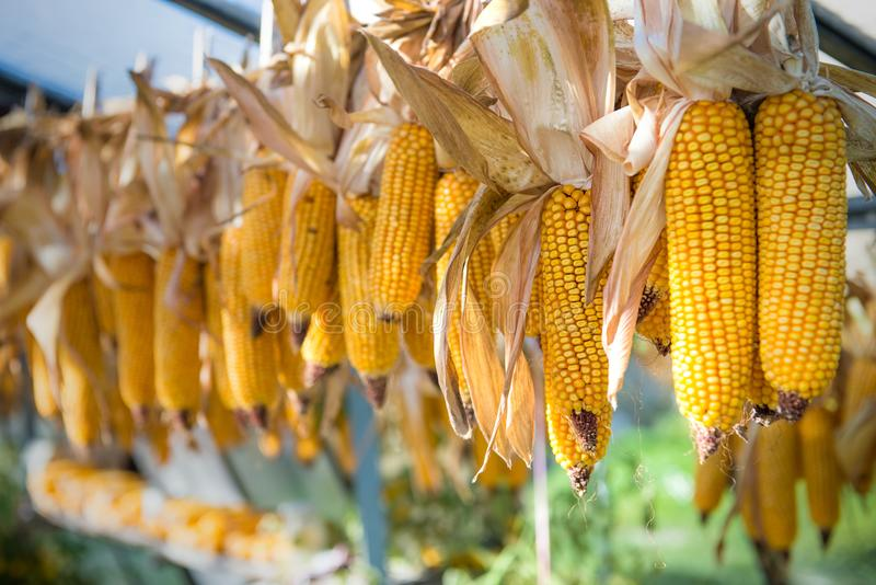 Drying yellow corn cobs hanging outside or in greenhouse royalty free stock photo