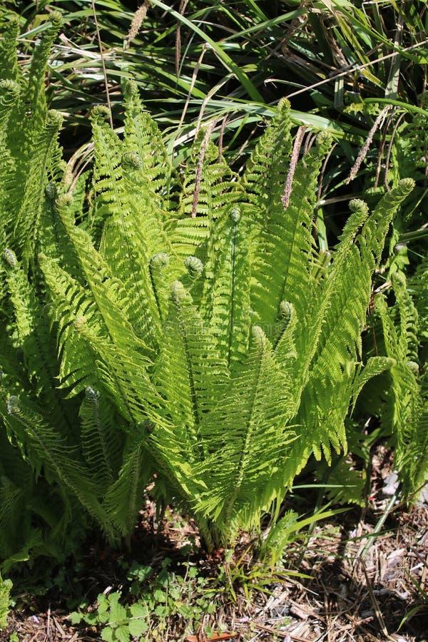 Dryopteris, świeży zielony nowy przyrost na paproci zdjęcia royalty free