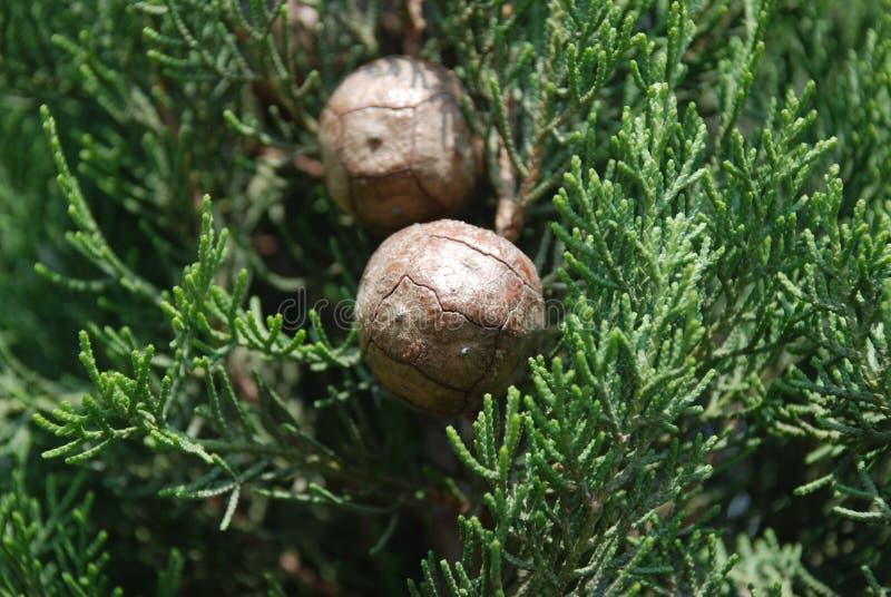 drzew iglastych cyprysowi obraz stock