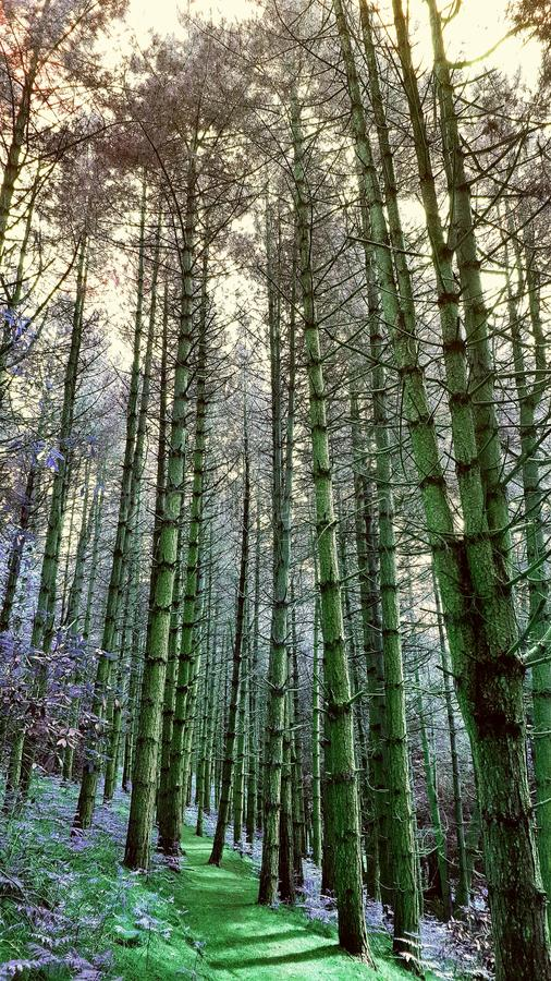 Drzew stać wysoki obraz royalty free