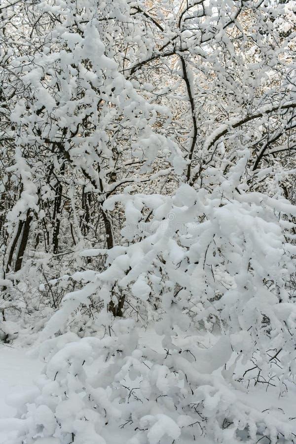 Drzewa śmiecący z świeżym śniegiem zdjęcia stock