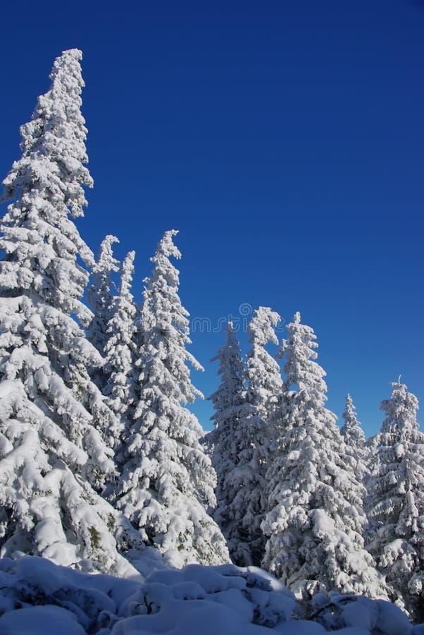 drzewa biały zdjęcie stock