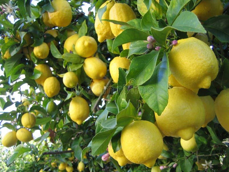 drzewa cytrynowe zdjęcia stock