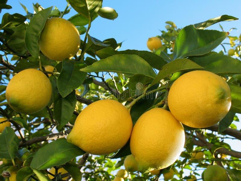 drzewa cytrynowe zdjęcie stock