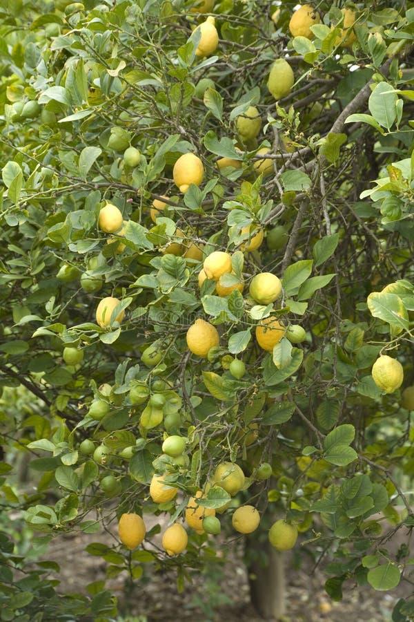 drzewa cytrynowe obraz royalty free