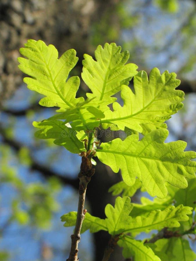 drzewa dębowego young obraz stock