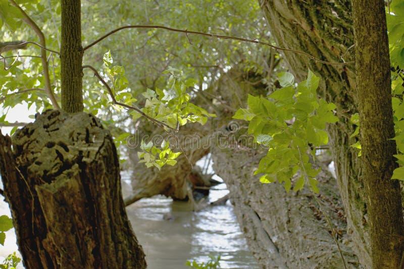 Drzewa - Danube rzeka obraz royalty free