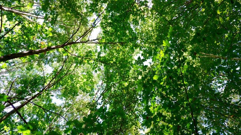 Drzewa do nieba obraz royalty free