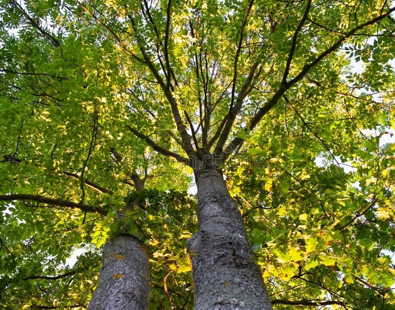 drzewa dwa zdjęcia stock