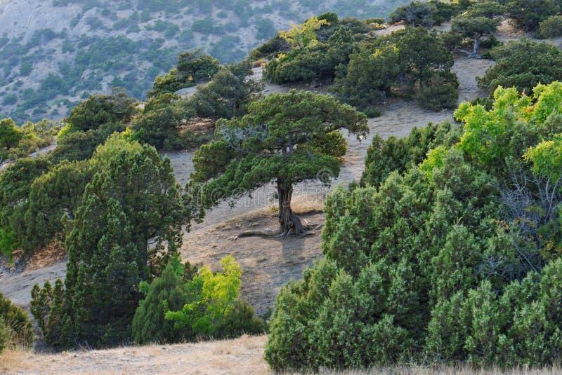 Drzewa dziwaczny kształt na skłonie góra Jako Enty od władyki pierścionku film obraz royalty free