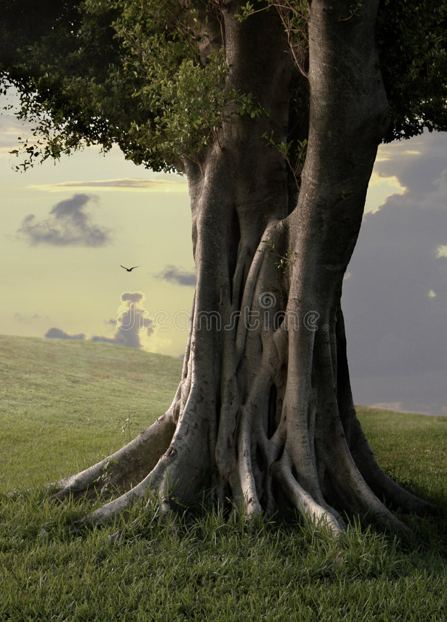 drzewa ficus iii zdjęcia stock