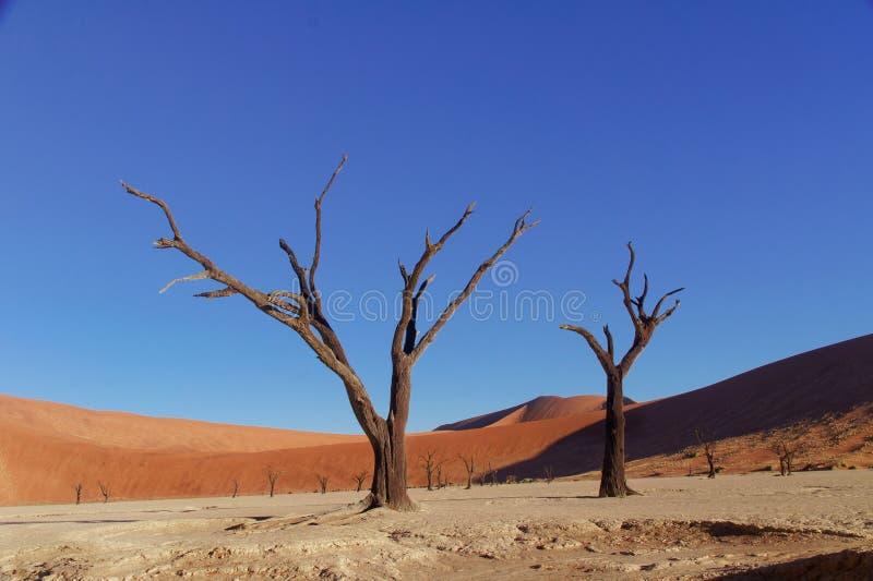 Drzewa i krajobraz Nieżywa Vlei pustynia, Namibia zdjęcie royalty free