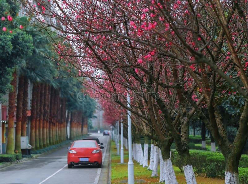 Drzewa i menchia kwitną wzdłuż ulicy Kampus sceneria Widok drogowy rozszerzenie fotografia stock