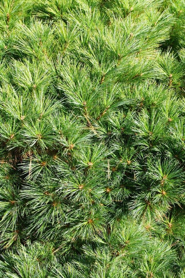 drzewa iglastego tła jodły sosna gałęziasta fotografia stock