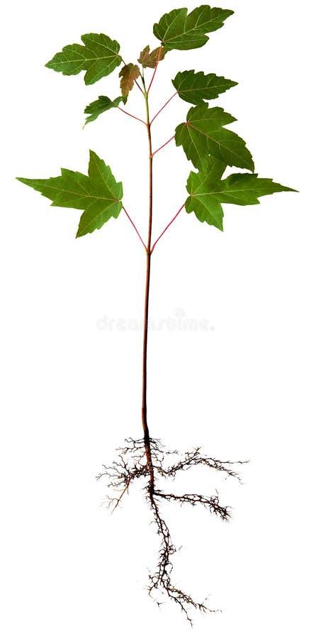 drzewa klonowego young fotografia stock