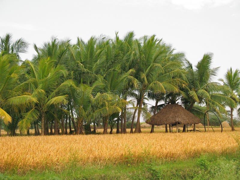 drzewa kokosowe fotografia royalty free