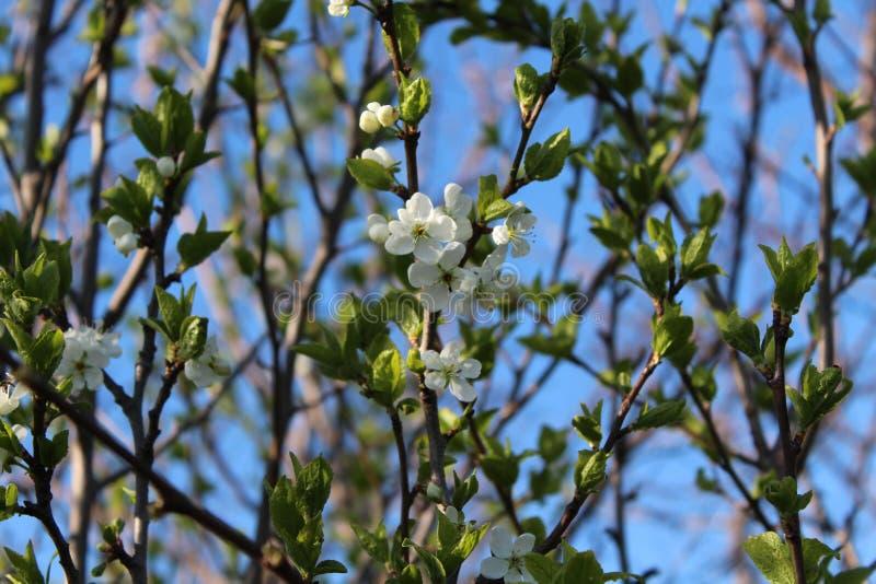 Drzewa kwitnący białe kwiaty Wiosna przychodził, wiosna nastrój pierwszy opuszcza na drzewie Młody ulistnienie zdjęcia royalty free