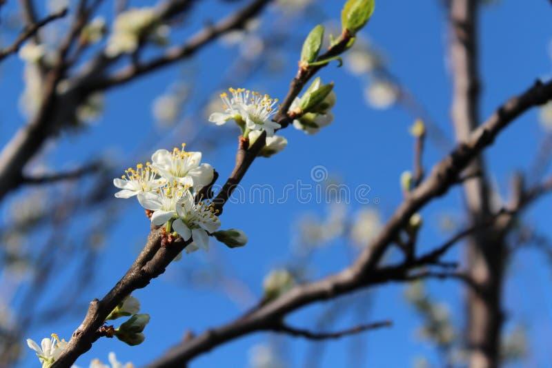 Drzewa kwitnący białe kwiaty Wiosna przychodził, wiosna nastrój pierwszy opuszcza na drzewie Młody ulistnienie fotografia royalty free