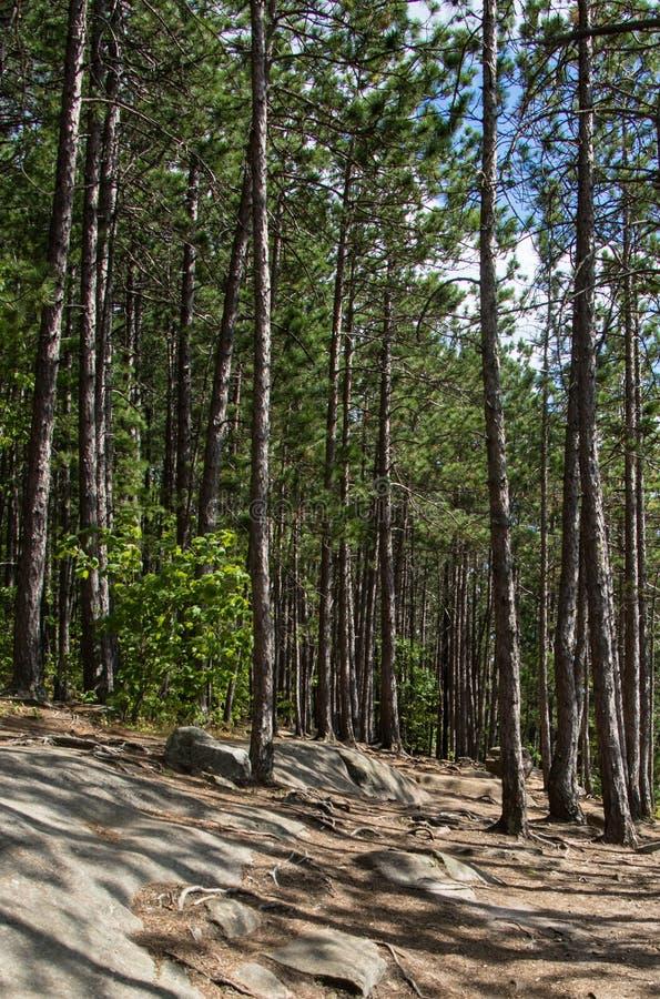 Drzewa na Kanadyjskiej osłonie w Algonquin parku zdjęcia stock