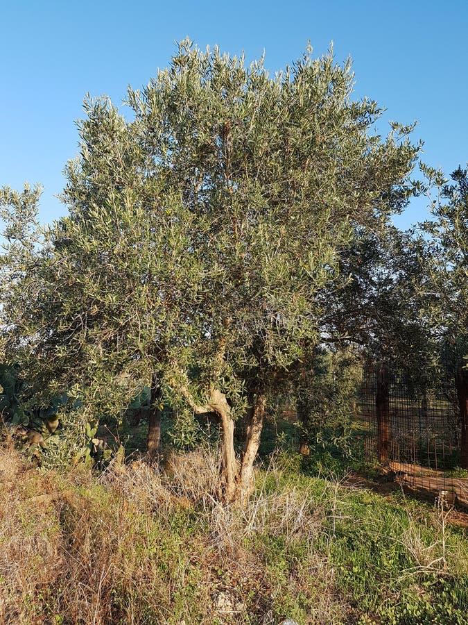 Drzewa oliwne zdjęcie royalty free