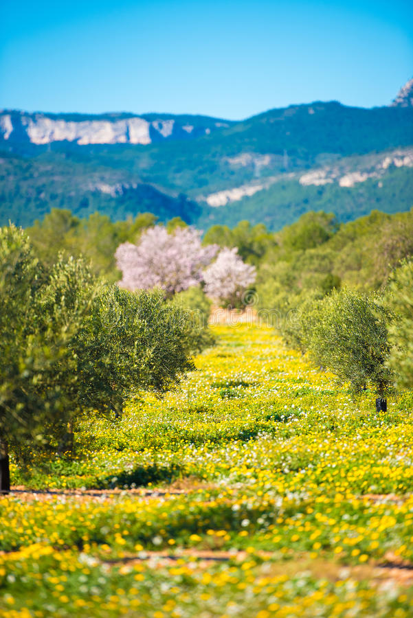 Drzewa oliwne na plantaci w Tarragona z rzędu, Catalunya, Hiszpania Odbitkowa przestrzeń dla teksta zdjęcia stock