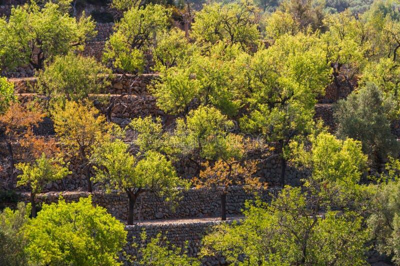Drzewa oliwne na tarasów medicean nafcianych drzewach fotografia stock