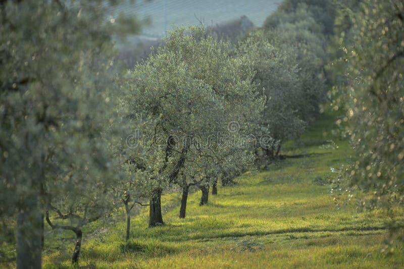 Drzewa oliwne przy zmierzchem w zimie, Tuscany Italy fotografia stock