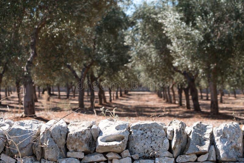 Drzewa oliwne w liniach w oliwnym gaju blisko Alberobello w Puglia, Południowy Włochy Kamienna ściana w przedpolu fotografia royalty free
