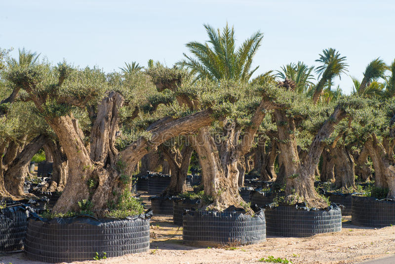 Drzewa oliwnego gospodarstwo rolne zdjęcie royalty free