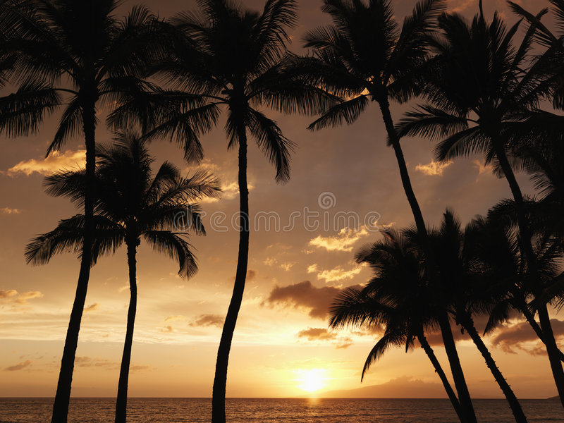drzewa palmowi maui sunset zdjęcia royalty free