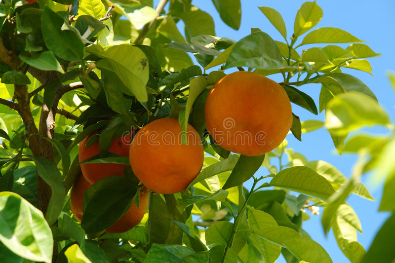 drzewa pomarańczowe zdjęcia royalty free