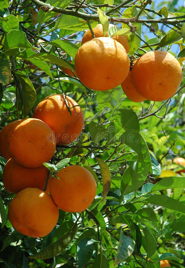 drzewa pomarańczowe obrazy royalty free