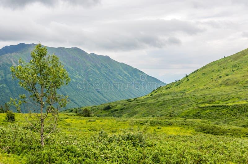 Drzewa Samotni stojaki na tundra Zakrywającym góra krajobrazie w Alaska zdjęcie royalty free