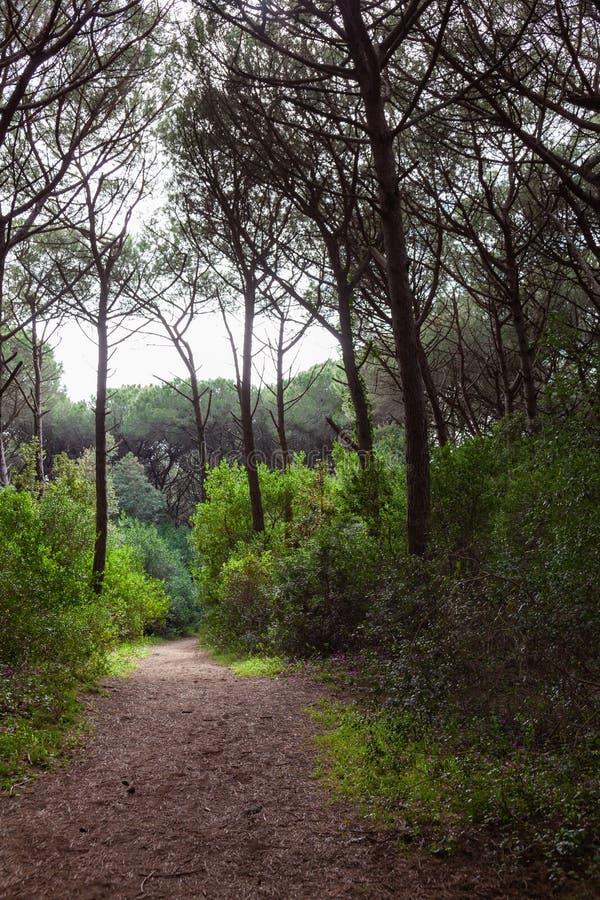 drzewa sosnowe z Pineta di Marina di Cecina wzdłuż wybrzeża Toskanii obrazy royalty free