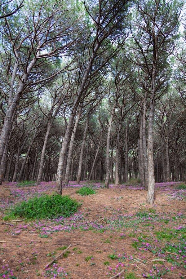 drzewa sosnowe z Pineta di Marina di Cecina wzdłuż wybrzeża Toskanii fotografia royalty free