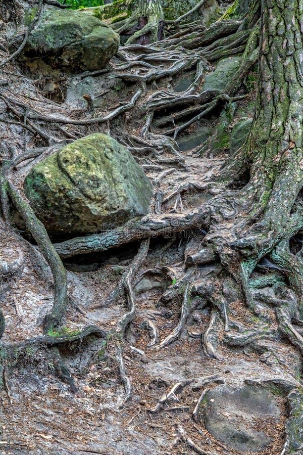 Drzewa tajemniczy kołtuniaści korzenie fotografia stock