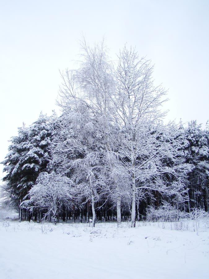 Drzewa w śniegu zdjęcie royalty free