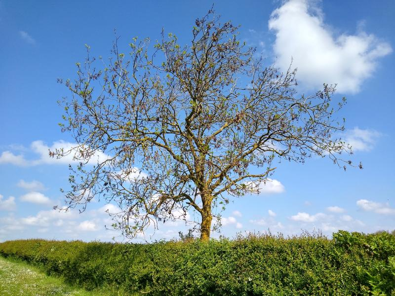 Drzewa w canola polu fotografia royalty free