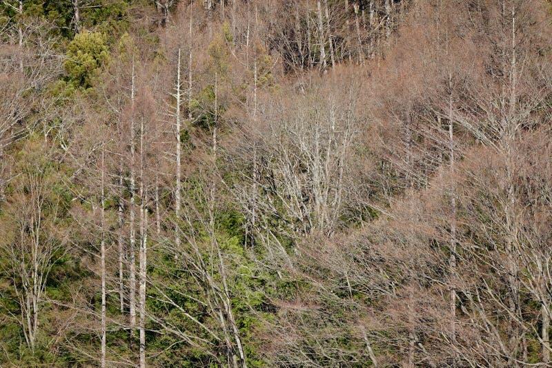 Drzewa w lesie blisko Fuji Wspinają się, Japonia obraz royalty free