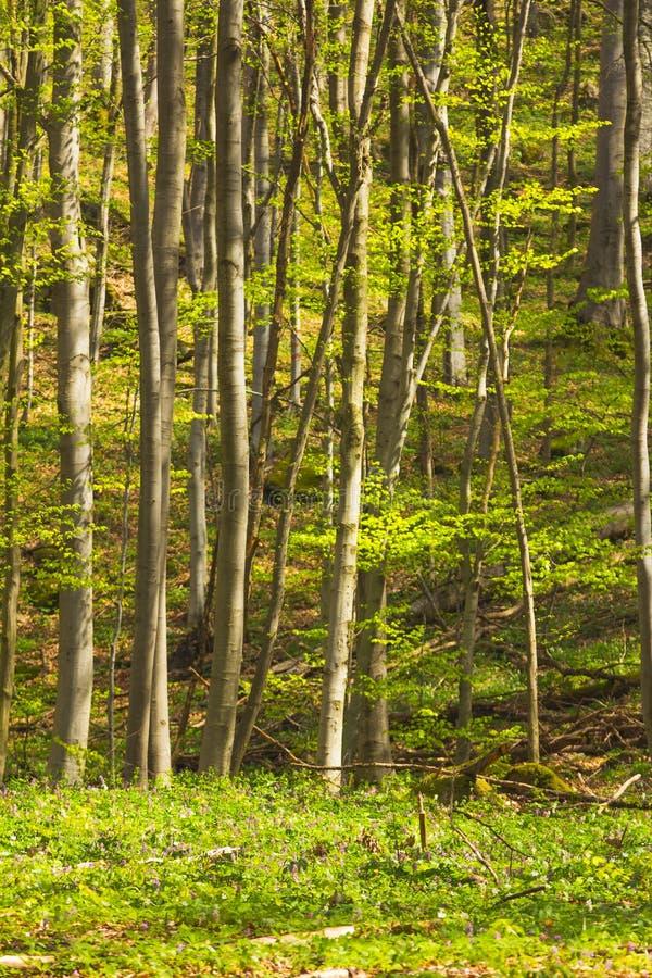 Drzewa w lesie w wiośnie zdjęcie royalty free
