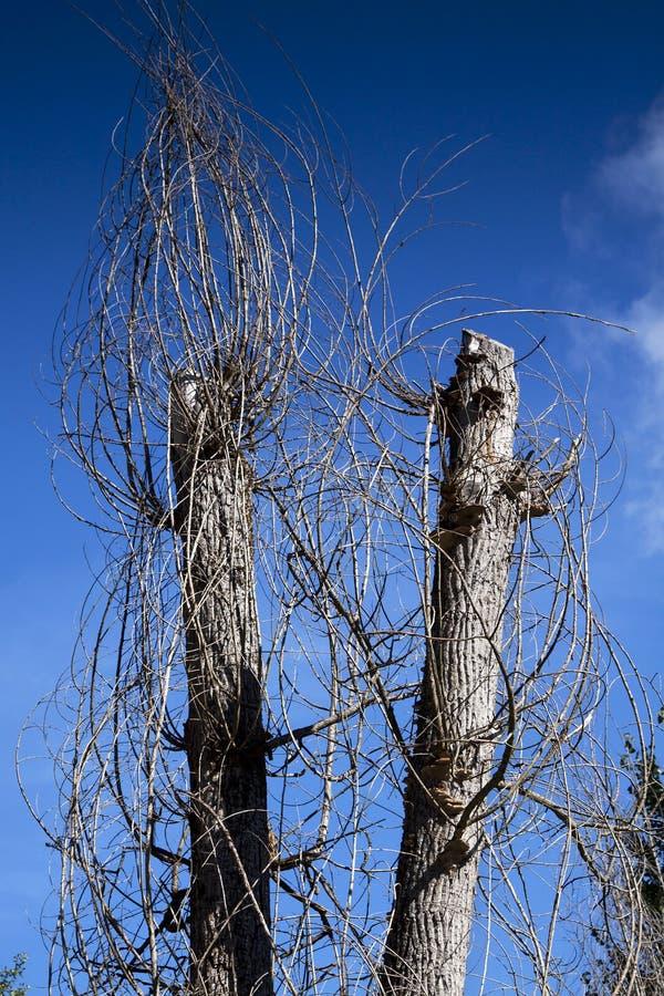 drzewa więdli obraz royalty free