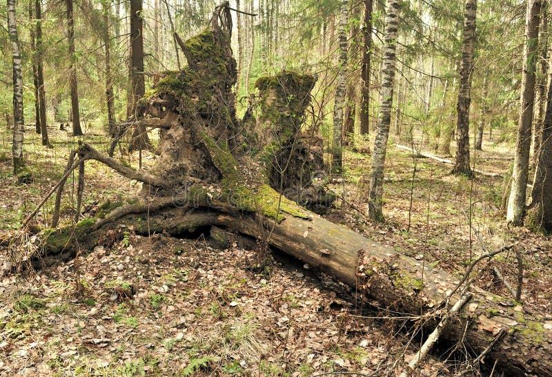 drzewa wykorzeniający obrazy royalty free