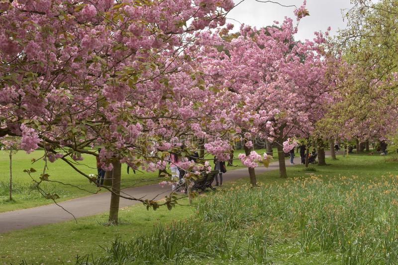 Drzewa wystawia pięknych okwitnięcia witać wiosnę obrazy royalty free