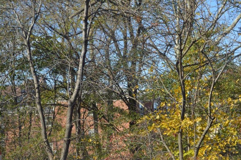 Drzewa z żółtymi liśćmi w opóźnionej jesieni obrazy stock