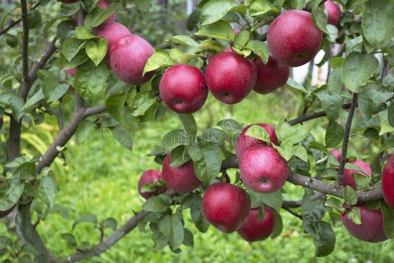 Drzewa z czerwonymi jabłkami zdjęcia royalty free