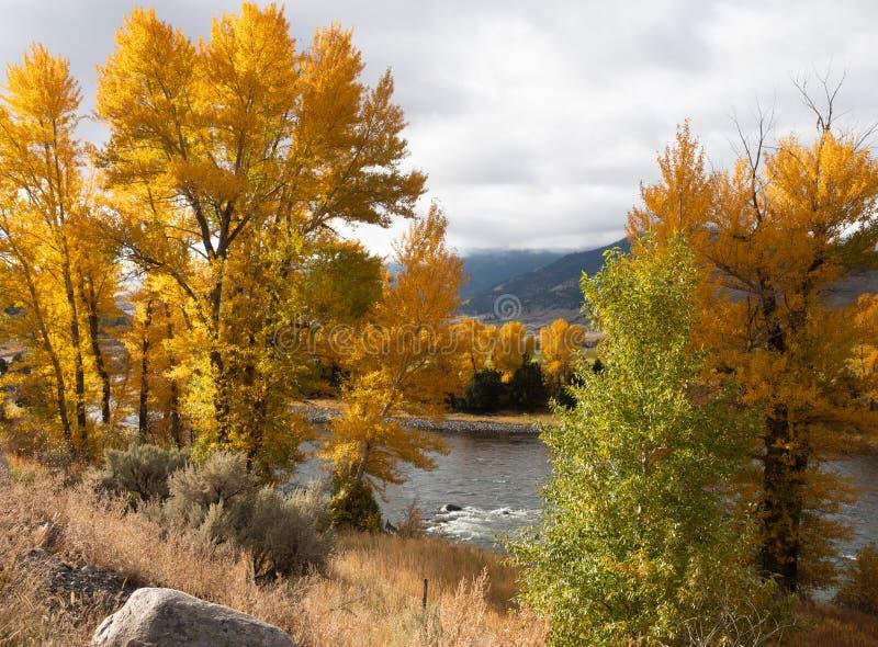 Drzewa z jesień liśćmi na brzeg Yellowstone rzeka zdjęcia stock