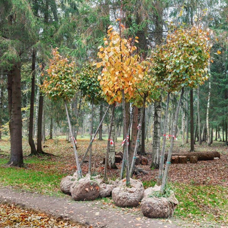 Drzewa z korzeniami w burlap przygotowywają dla zasadzać zdjęcia stock