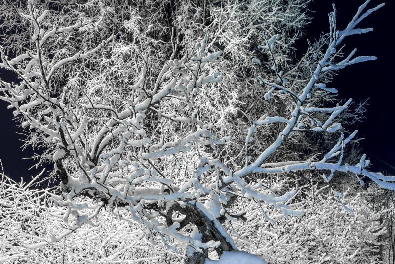 Drzewa zakrywający w śniegu przy nocą fotografia royalty free