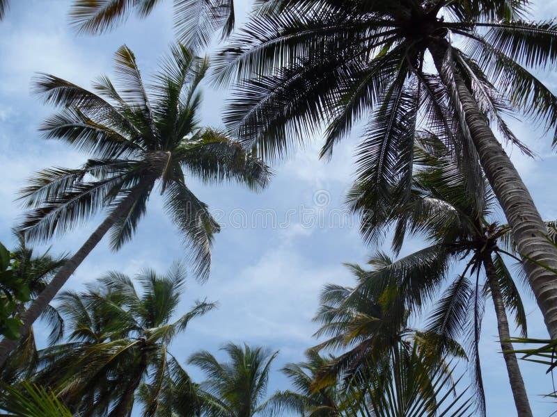 Drzewka palmowe Koh Tao zdjęcia stock